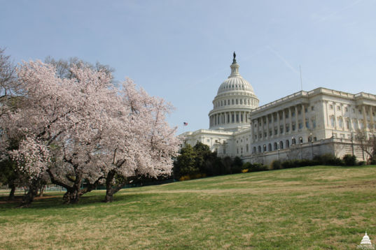 Capitol building with cherry blossoms FB card