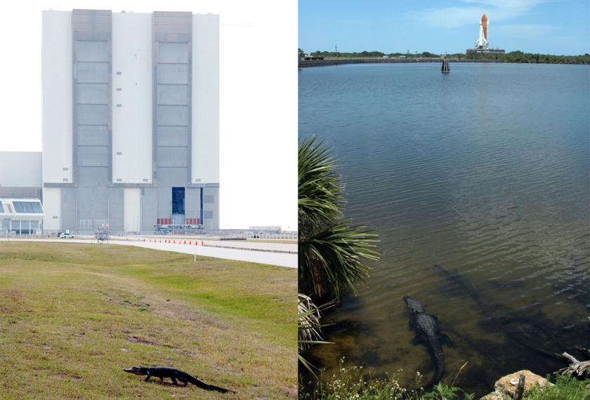 Shuttle alligators