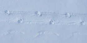 Penguin tracks in the snow.
