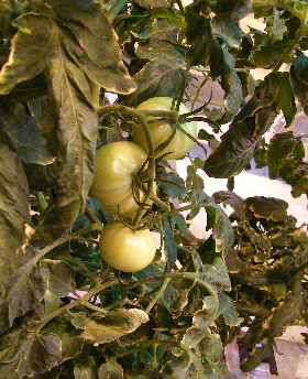 Antarctic brand tomatoes
