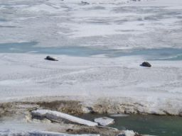 Seals near Hut Point