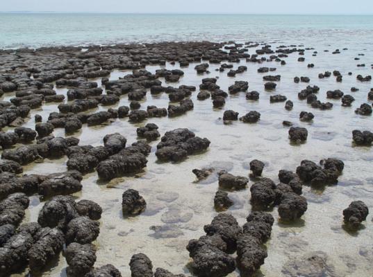 Modern stromatolites growing in Shark Bay, Australia